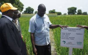 Madoudjan Kéita (centre), host farmer of a Foundation Seed Production test plot in the Kayes region, explains test plot practices to National Director of Agriculture, Oumar Maiga